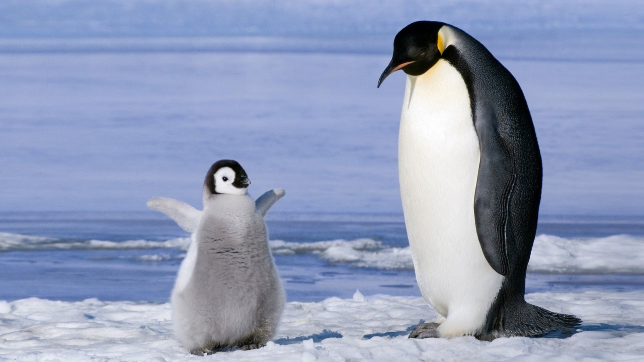 baby-pinguin-with-the-parent-245697